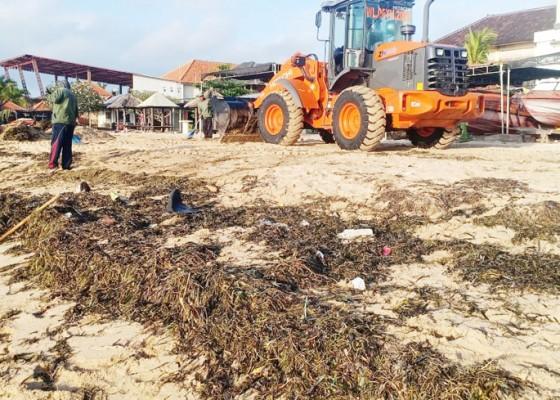 Nusabali.com - sampah-rumput-laut-menumpuk-di-pesisir-timur