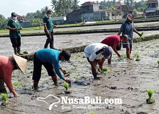 Nusabali.com - hormati-petani-desa-gubug-gelar-lomba-nandur-padi
