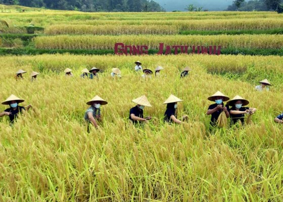Nusabali.com - panen-raya-padi-merah-di-persawahan-jatiluwih-bali