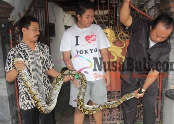 Nusabali.com - pawang-ular-tangkap-python-3-meter