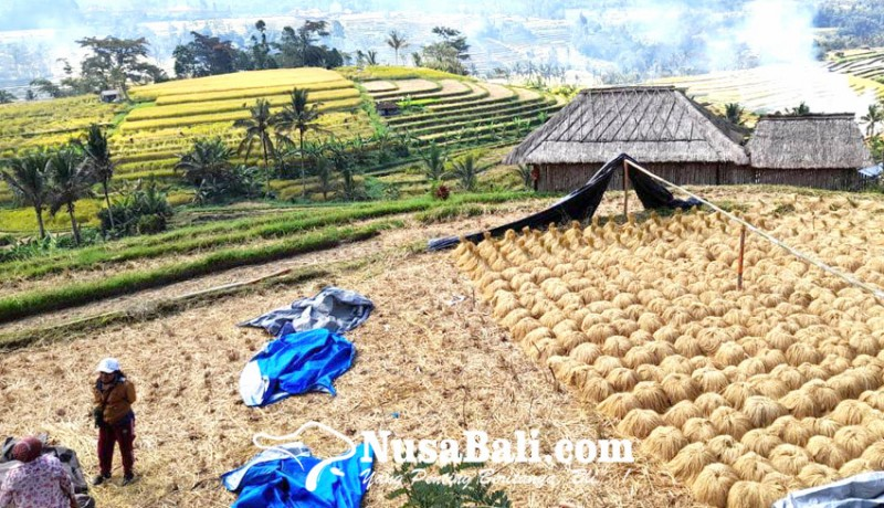www.nusabali.com-hasil-panen-subak-jatiluwih-menurun