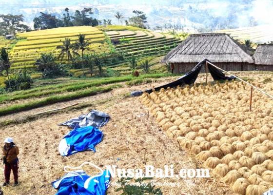 Nusabali.com - hasil-panen-subak-jatiluwih-menurun