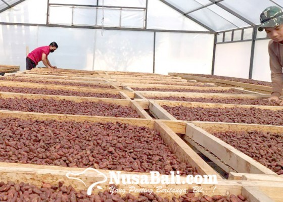 Nusabali.com - petani-kakao-bali-dminta-bentuk-korporatisasi