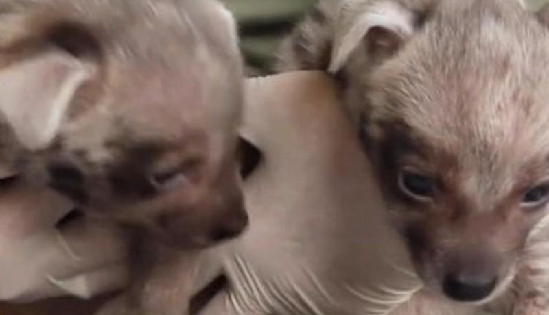 www.nusabali.com-dua-bayi-jantan-hyena-lahir-di-bali-safari