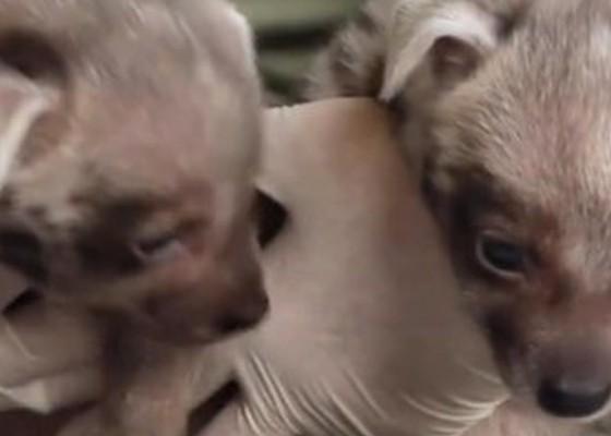 Nusabali.com - dua-bayi-jantan-hyena-lahir-di-bali-safari