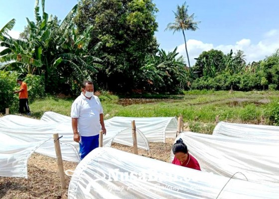 Nusabali.com - pandemi-minat-petani-tembakau-omprongan-turun