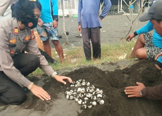Nusabali.com - warga-temukan-92-telur-penyu-hijau-di-pantai-kusamba