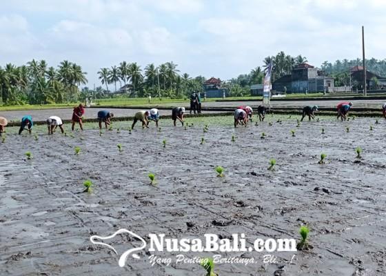 Nusabali.com - harga-gabah-kering-naik-rp-300kg