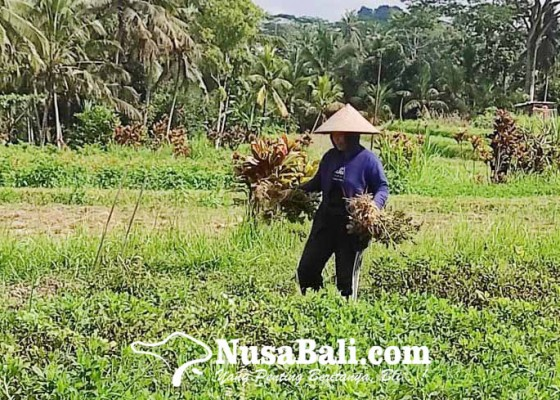 Nusabali.com - petani-subak-badung-tak-bisa-tanam-padi