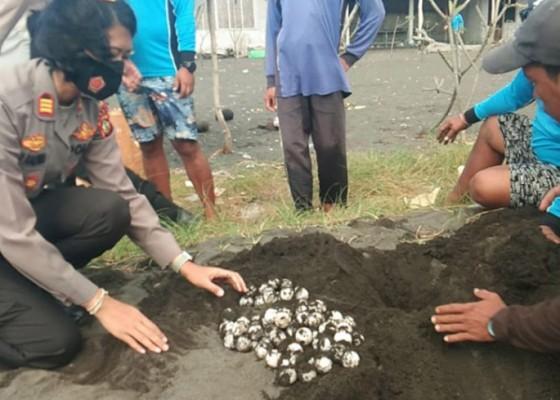 Nusabali.com - penemuan-telur-penyu-hijau-di-pantai-tribuana-tunggu-dua-bulan-hingga-menetas