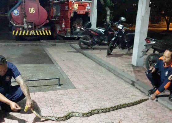 Nusabali.com - petugas-damkar-karangasem-evakuasi-ular-piton-25-meter