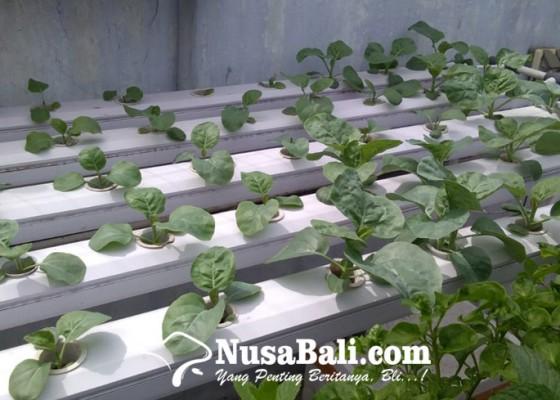 Nusabali.com - tak-diserap-sektor-pariwisata-hidroponik-temukan-penghobi-baru