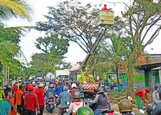 Nusabali.com - pohon-suar-tumbang-arus-lalin-macet