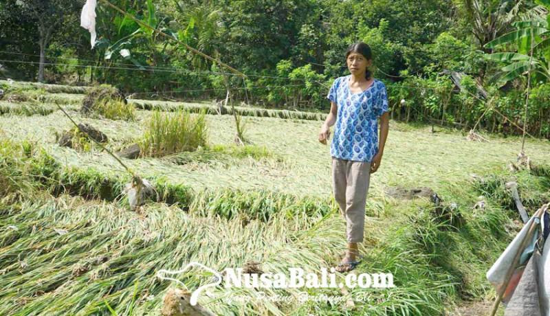 www.nusabali.com-sawah-di-tepi-sungai-betel-terendam-banjir