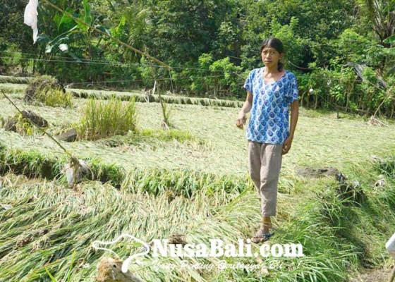Nusabali.com - sawah-di-tepi-sungai-betel-terendam-banjir