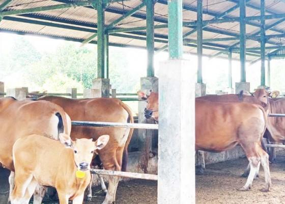 Nusabali.com - bali-kirim-30-ribu-sapi-ke-jawa