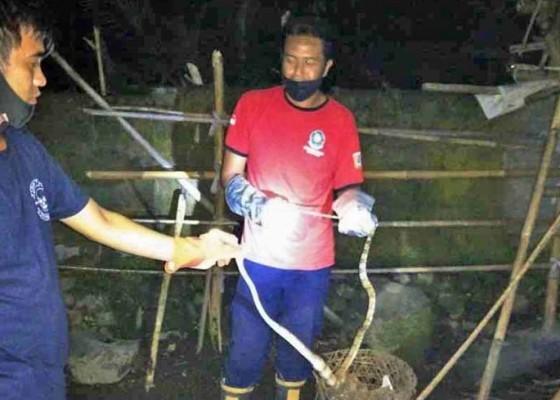 Nusabali.com - petugas-damkar-tangkap-ular-di-rumah-bendesa-geriana-kangin