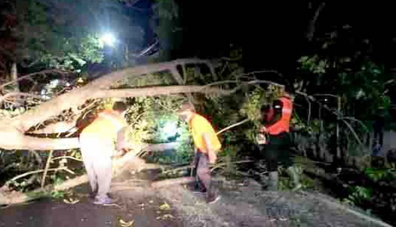 www.nusabali.com-bpbd-evakuasi-pohon-tumbang-di-jalan-raya-lovina