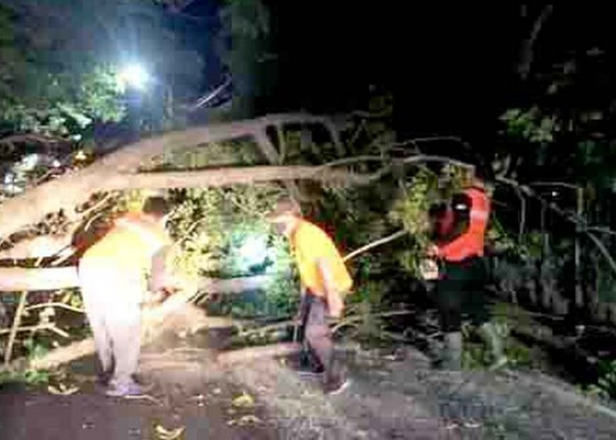Nusabali.com - bpbd-evakuasi-pohon-tumbang-di-jalan-raya-lovina