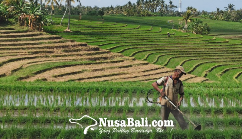 www.nusabali.com-indeks-nilai-tukar-petani-naik-049-persen-petani-bali-masih-merugi