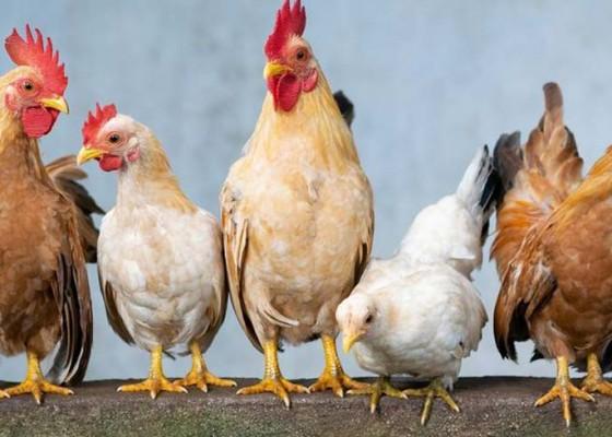 Nusabali.com - kemendag-godok-harga-acuan-ayam-hidup