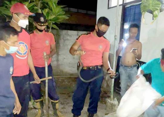 Nusabali.com - petugas-damkar-amankan-ular-sawah-sepanjang-15-meter