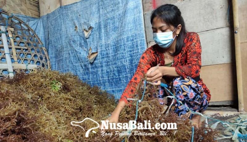 www.nusabali.com-bantuan-bibit-rumput-laut-nusa-penida-didatangkan-dari-situbondo