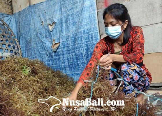 Nusabali.com - bantuan-bibit-rumput-laut-nusa-penida-didatangkan-dari-situbondo