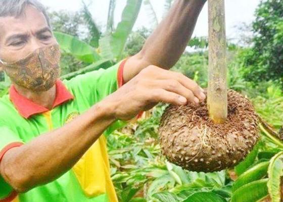 Nusabali.com - ekspor-porang-bali-macet