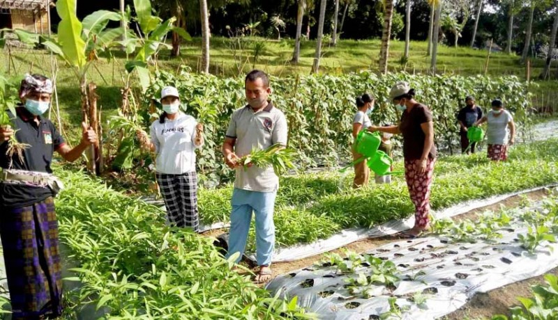 www.nusabali.com-kwt-dewi-asih-panen-kangkung-darat