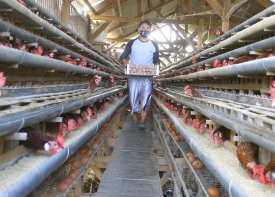 Nusabali.com - serapan-rendah-bisnis-ayam-parah