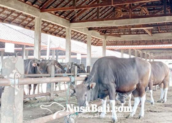 Nusabali.com - permintaan-sapi-bali-jelang-idul-adha-menurun