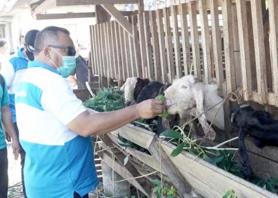 Nusabali.com - jelang-idul-adha-pemkab-jembrana-siapkan-28-kambing-dan-6-sapi