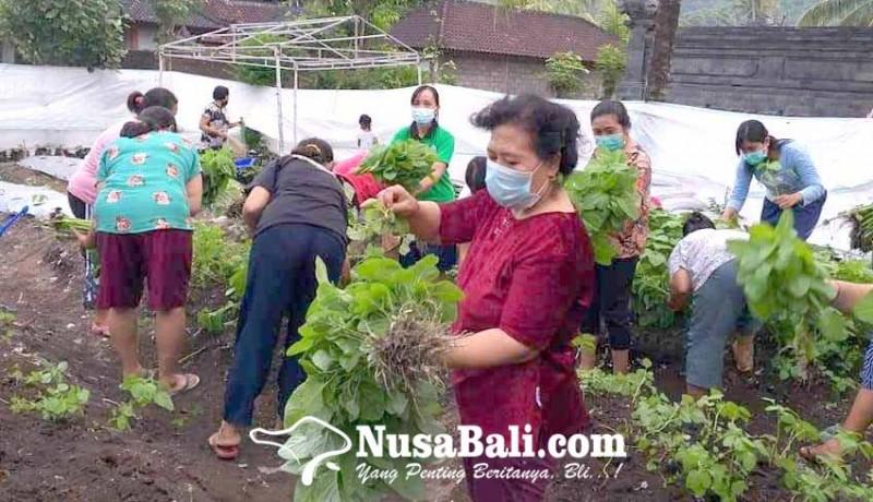 www.nusabali.com-kwt-taman-sari-desa-pesedahan-panen-bayam