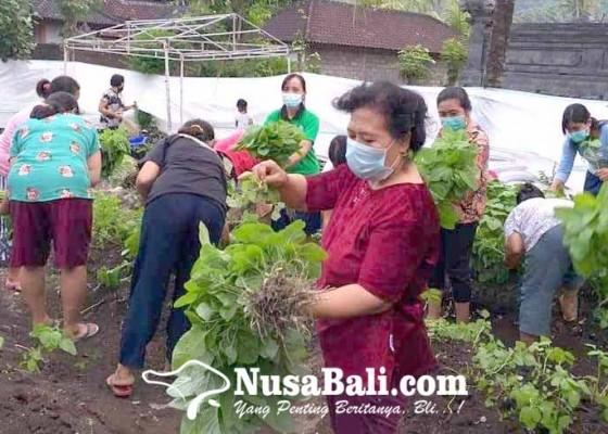 Nusabali.com - kwt-taman-sari-desa-pesedahan-panen-bayam