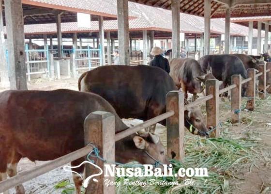 Nusabali.com - sapi-bali