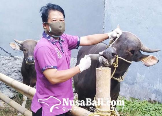 Nusabali.com - tim-dokter-hewan-periksa-hewan-kurban