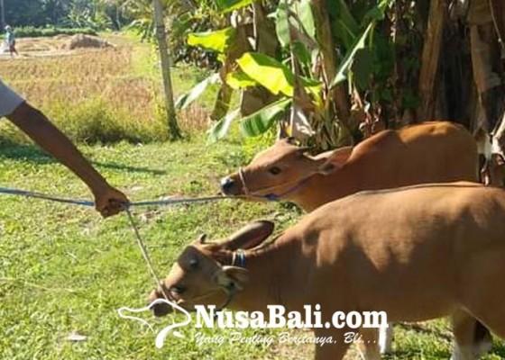 Nusabali.com - pandemi-populasi-sapi-meningkat