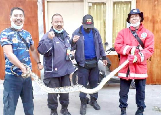 Nusabali.com - petugas-damkar-evakuasi-ular-piton