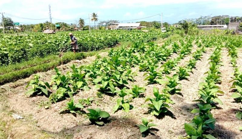 www.nusabali.com-di-sukawati-tembakau-dan-cabe-favorit