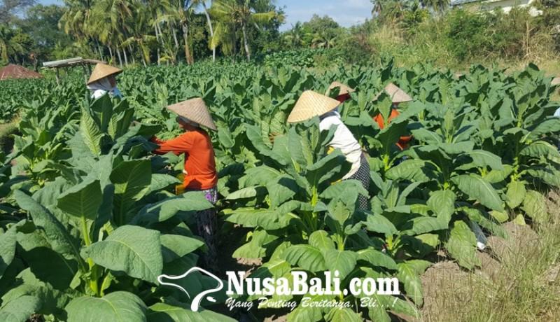 www.nusabali.com-usaha-tani-tembakau-bali-utara-tinggal-kenangan