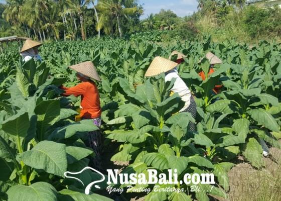Nusabali.com - usaha-tani-tembakau-bali-utara-tinggal-kenangan