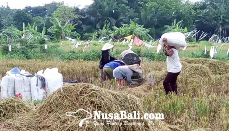 www.nusabali.com-nilai-tukar-petani-di-bali-membaik-tapi-masih-merugi