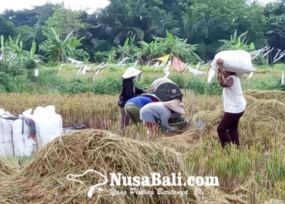 Nusabali.com - nilai-tukar-petani-di-bali-membaik-tapi-masih-merugi