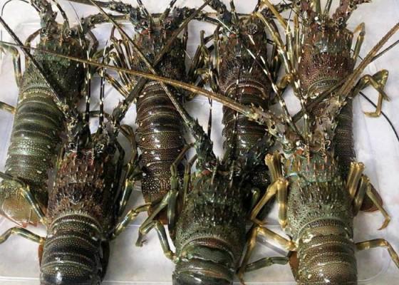 Lobster - Senggol Bali